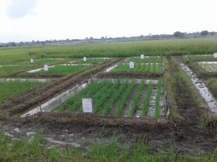 Tales of an NSS teacher: A Date at the rice farms